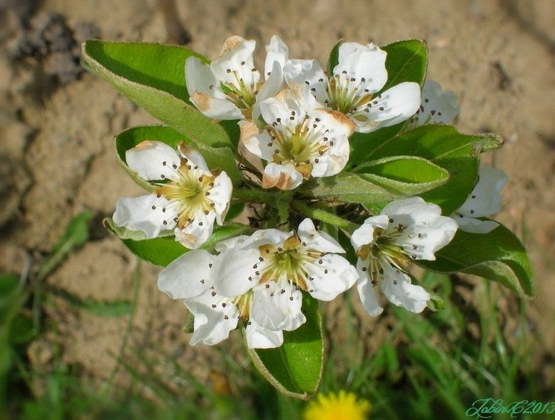 fleurs-de-pommier.jpg